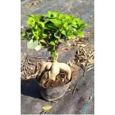 FICUS BONSAI PLANT AGED 6 YEARS(Code-502)